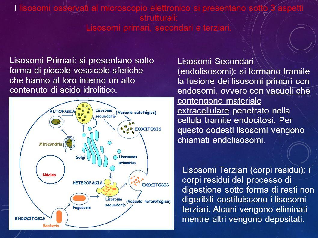 Lisosomi primari, secondari e terziari.