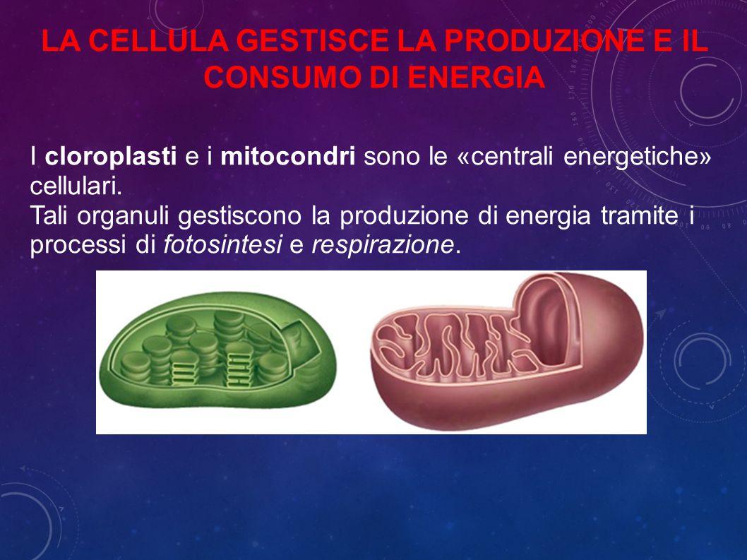 La cellula gestisce la produzione e il consumo di energia
