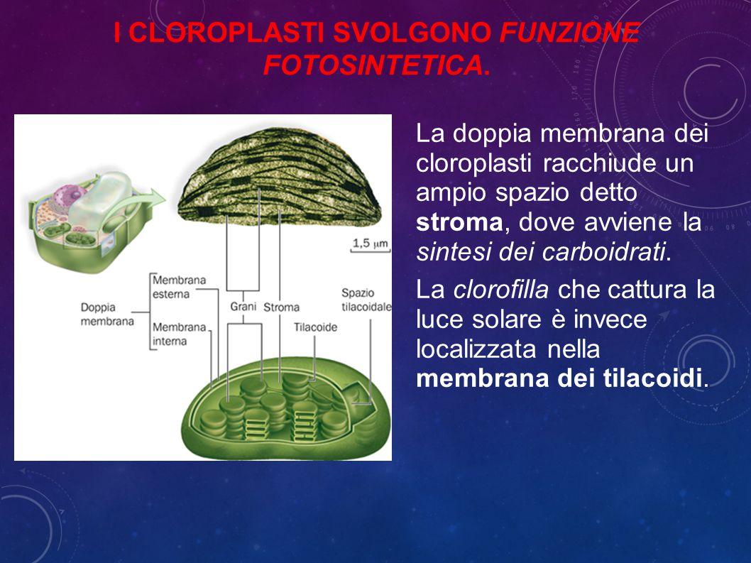 I cloroplasti svolgono funzione fotosintetica.