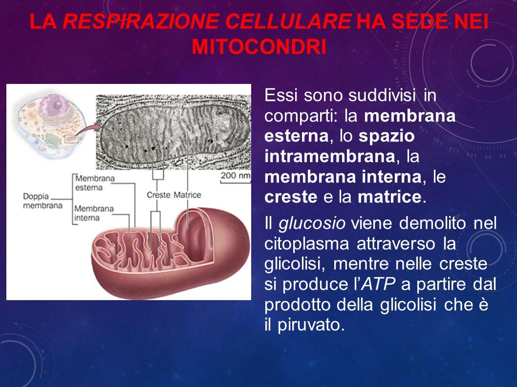 La respirazione cellulare ha sede nei mitocondri