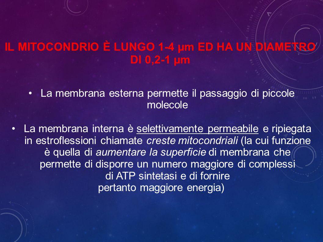 IL MITOCONDRIO È LUNGO 1-4 µm ED HA UN DIAMETRO DI 0,2-1 µm