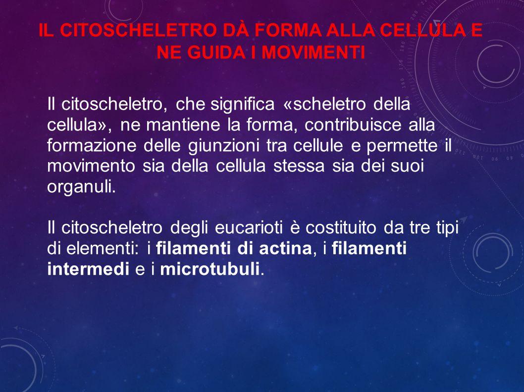 Il citoscheletro dà forma alla cellula e ne guida i movimenti