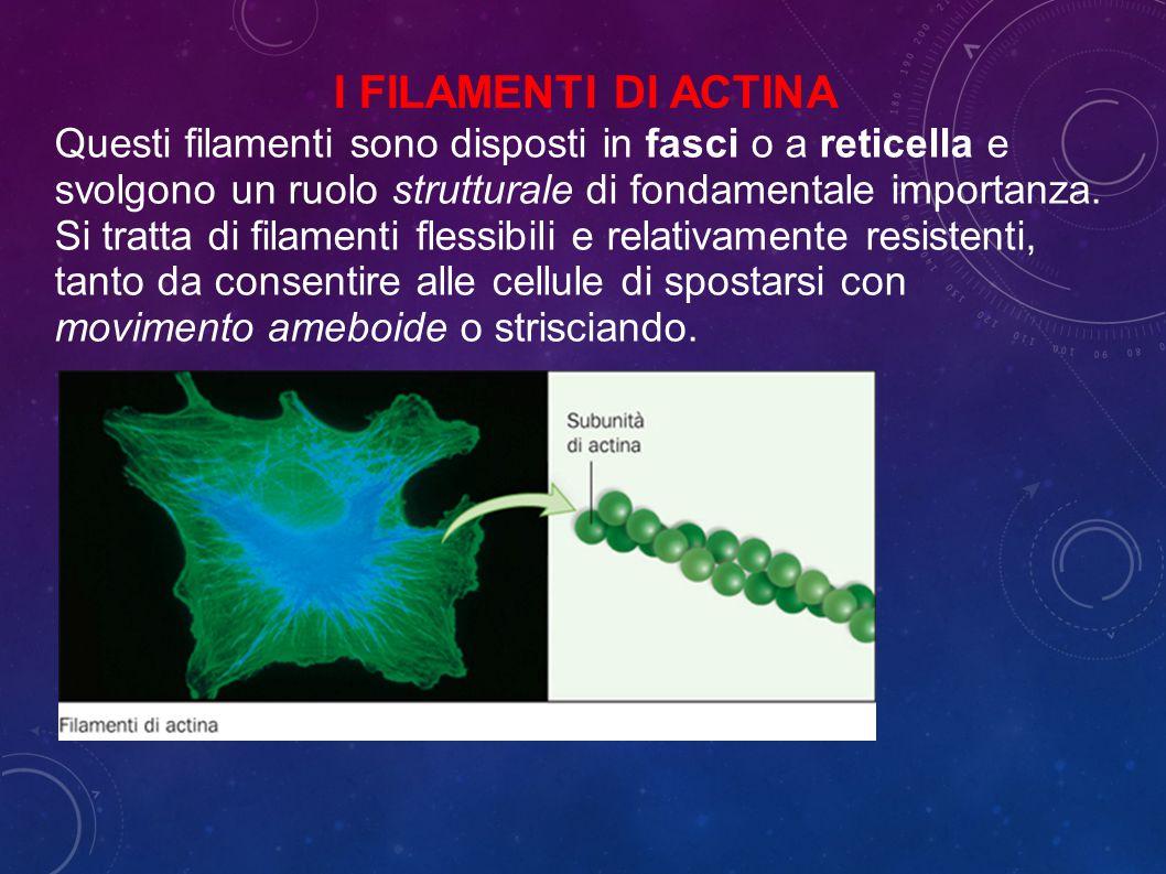 I filamenti di actina Questi filamenti sono disposti in fasci o a reticella e svolgono un ruolo strutturale di fondamentale importanza.