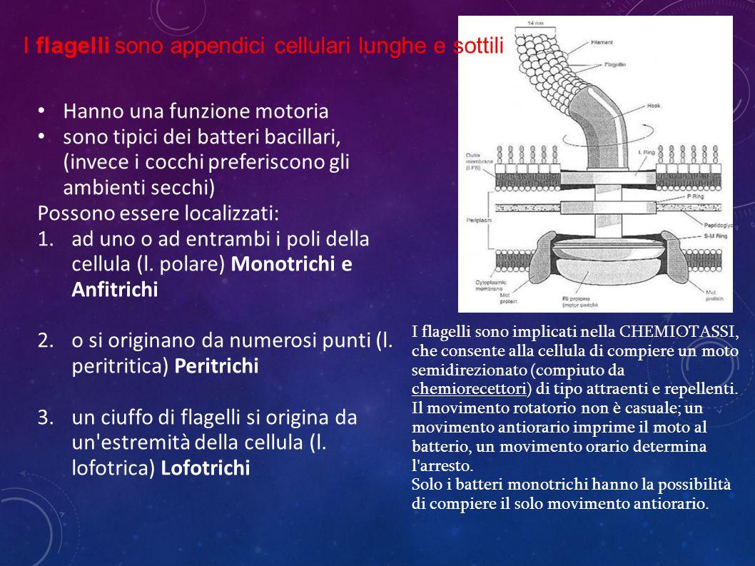 I flagelli sono appendici cellulari lunghe e sottili
