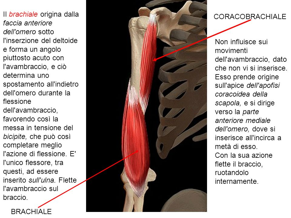 Il brachiale origina dalla faccia anteriore dell omero sotto l inserzione del deltoide e forma un angolo piuttosto acuto con l avambraccio, e ciò determina uno spostamento all indietro dell omero durante la flessione dell avambraccio, favorendo così la messa in tensione del bicipite, che può così completare meglio l azione di flessione. E l unico flessore, tra questi, ad essere inserito sull ulna. Flette l avambraccio sul braccio.
