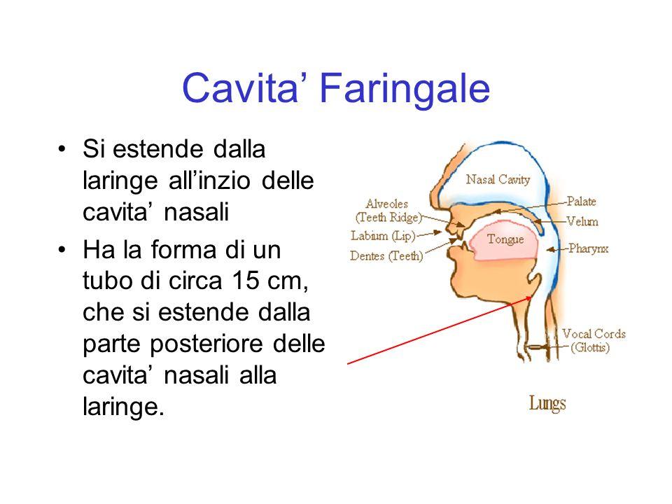 Cavita' Faringale Si estende dalla laringe all'inzio delle cavita' nasali.