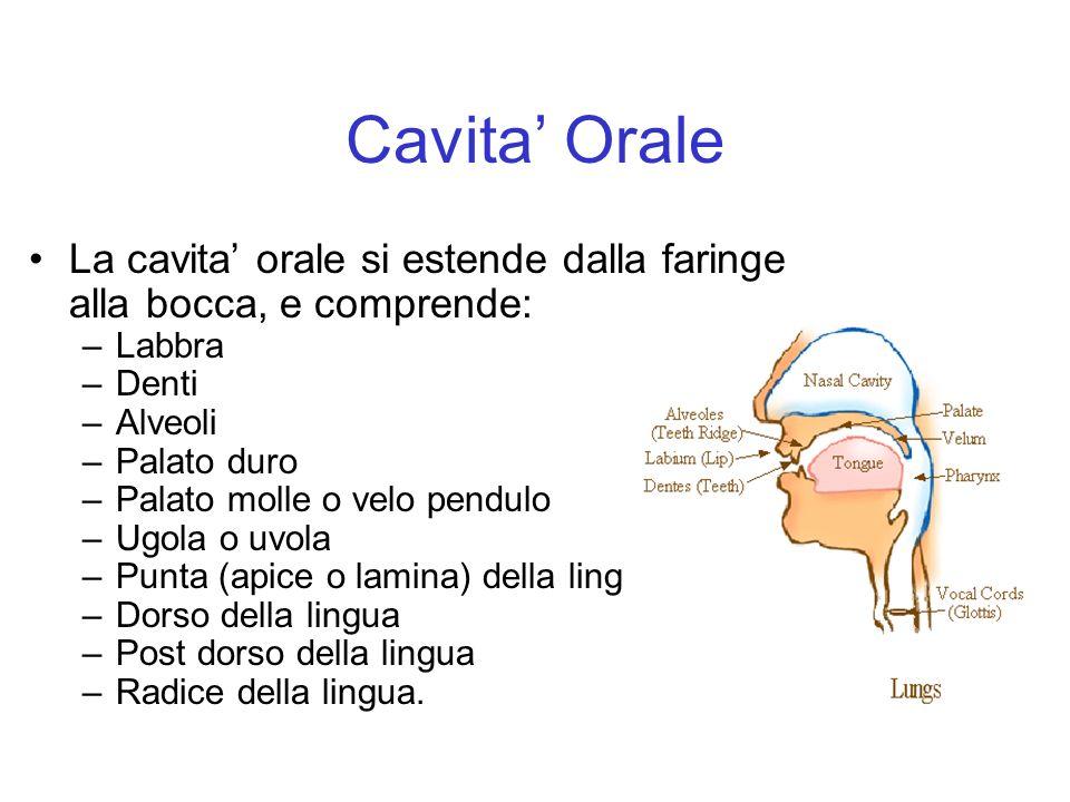 Cavita' Orale La cavita' orale si estende dalla faringe alla bocca, e comprende: Labbra. Denti. Alveoli.