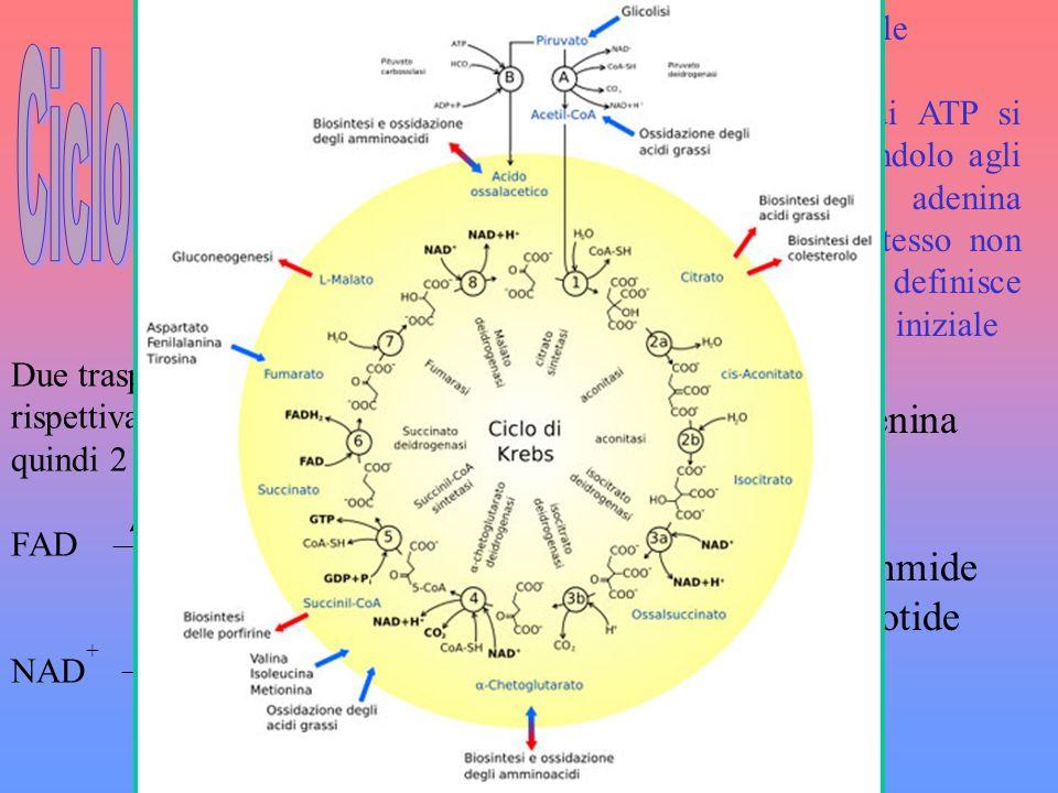 Ciclo di Krebs FAD=flavin adenina dinucleotide 2 e-