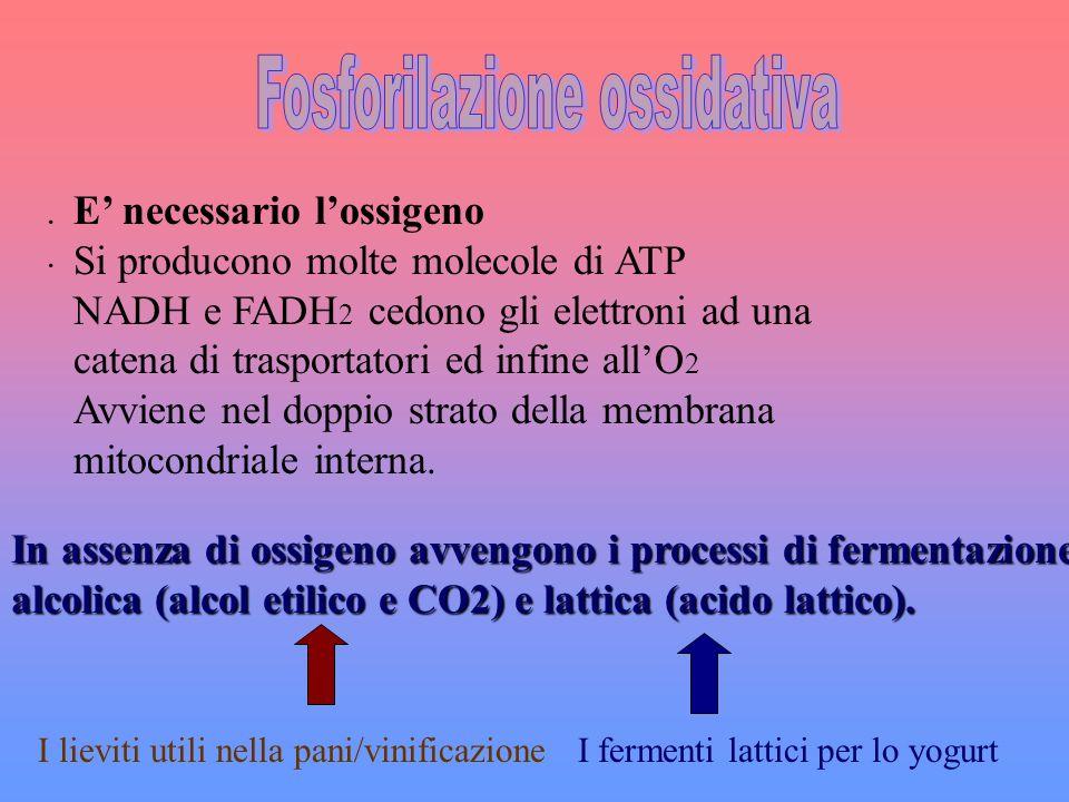 Fosforilazione ossidativa
