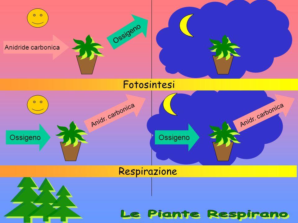 Le Piante Respirano Fotosintesi Respirazione Ossigeno Ossigeno