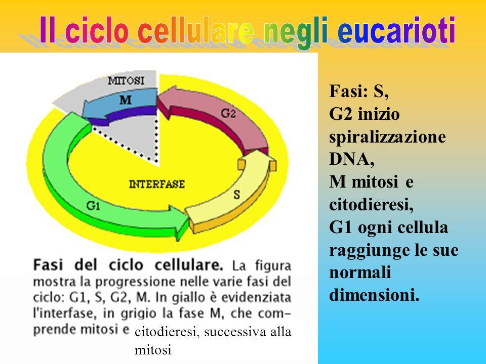 Il ciclo cellulare negli eucarioti