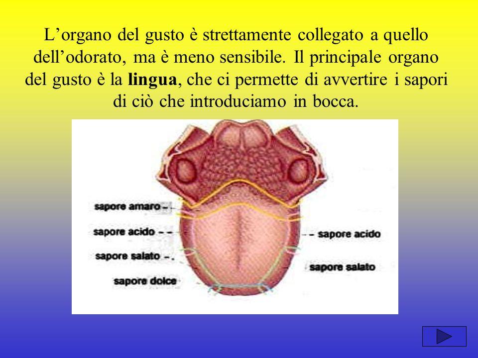 L'organo del gusto è strettamente collegato a quello dell'odorato, ma è meno sensibile.
