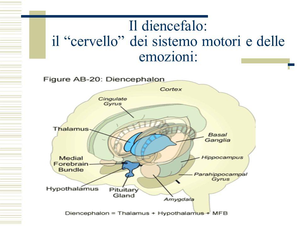 Il diencefalo: il cervello dei sistemo motori e delle emozioni: