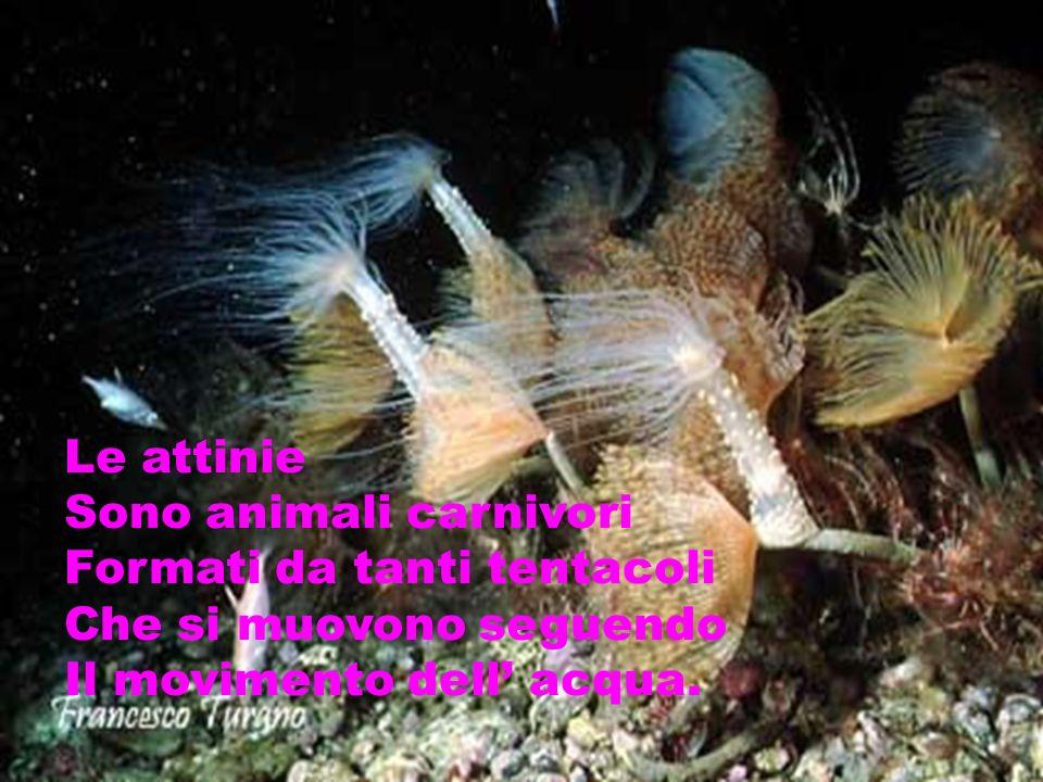 Le attinie Sono animali carnivori. Formati da tanti tentacoli.