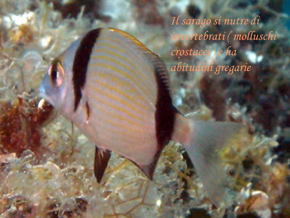 invertebrati ( molluschi crostacei ) e ha abitudini gregarie