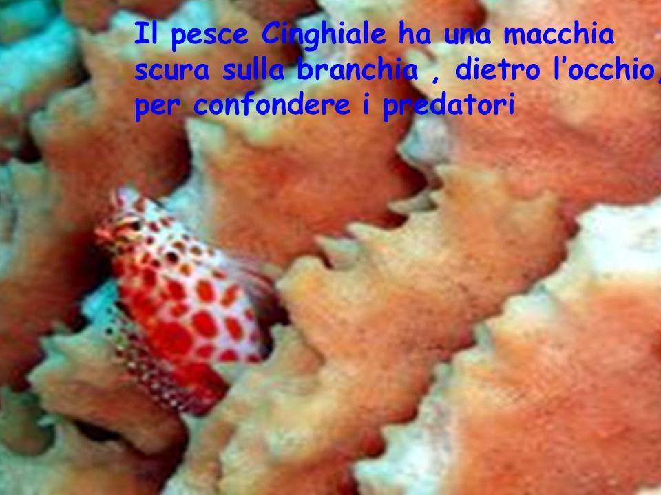 Il pesce Cinghiale ha una macchia