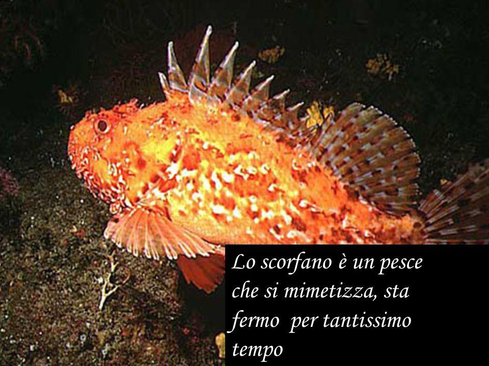 Lo scorfano è un pesce che si mimetizza, sta fermo per tantissimo