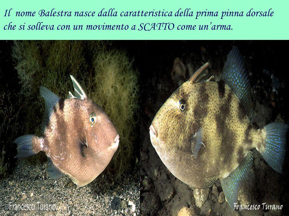 Il nome Balestra nasce dalla caratteristica della prima pinna dorsale che si solleva con un movimento a SCATTO come un'arma.