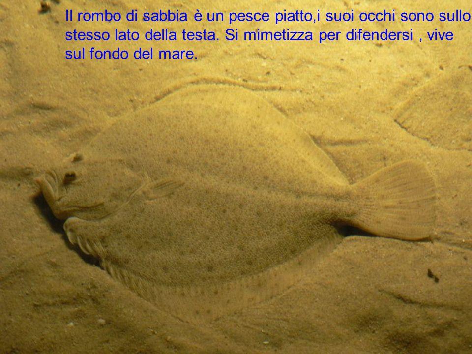 Il rombo di sabbia è un pesce piatto,i suoi occhi sono sullo