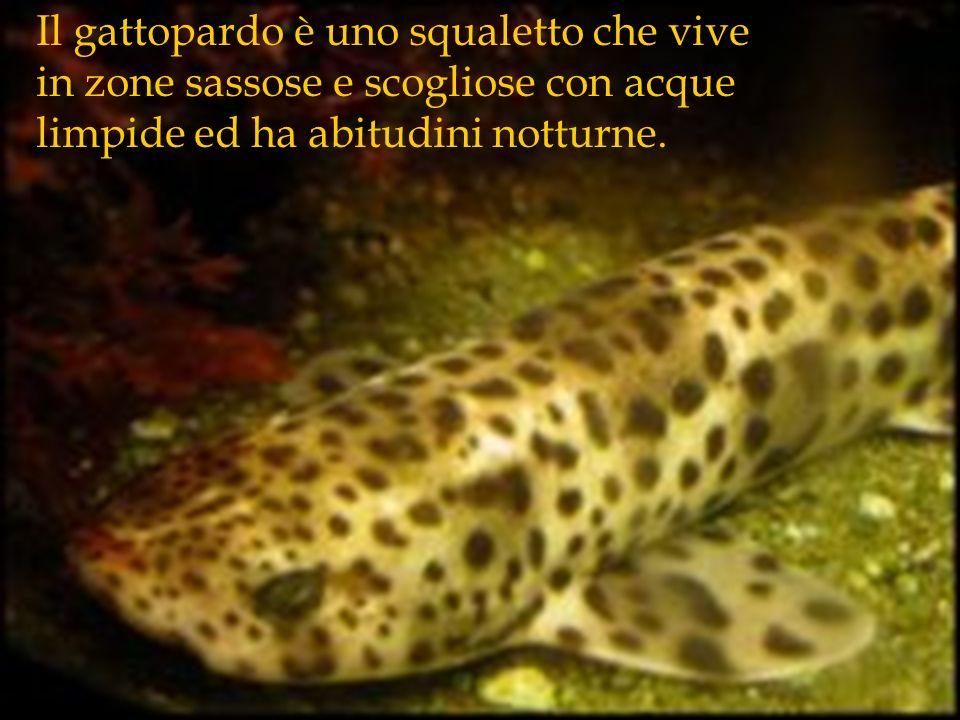 Il gattopardo è uno squaletto che vive in zone sassose e scogliose con acque limpide ed ha abitudini notturne.