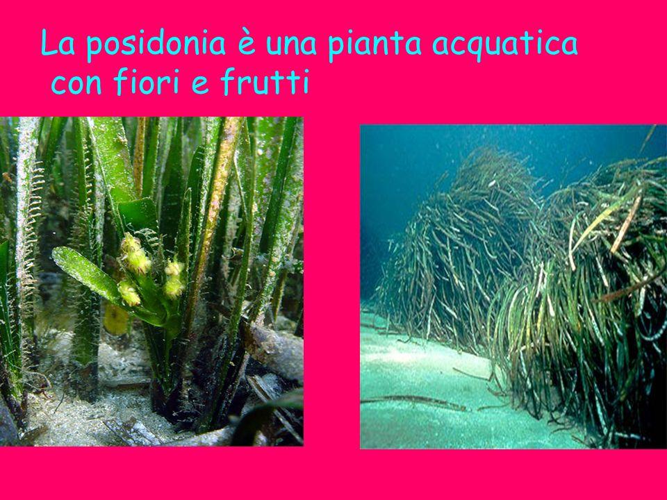 La posidonia è una pianta acquatica con fiori e frutti