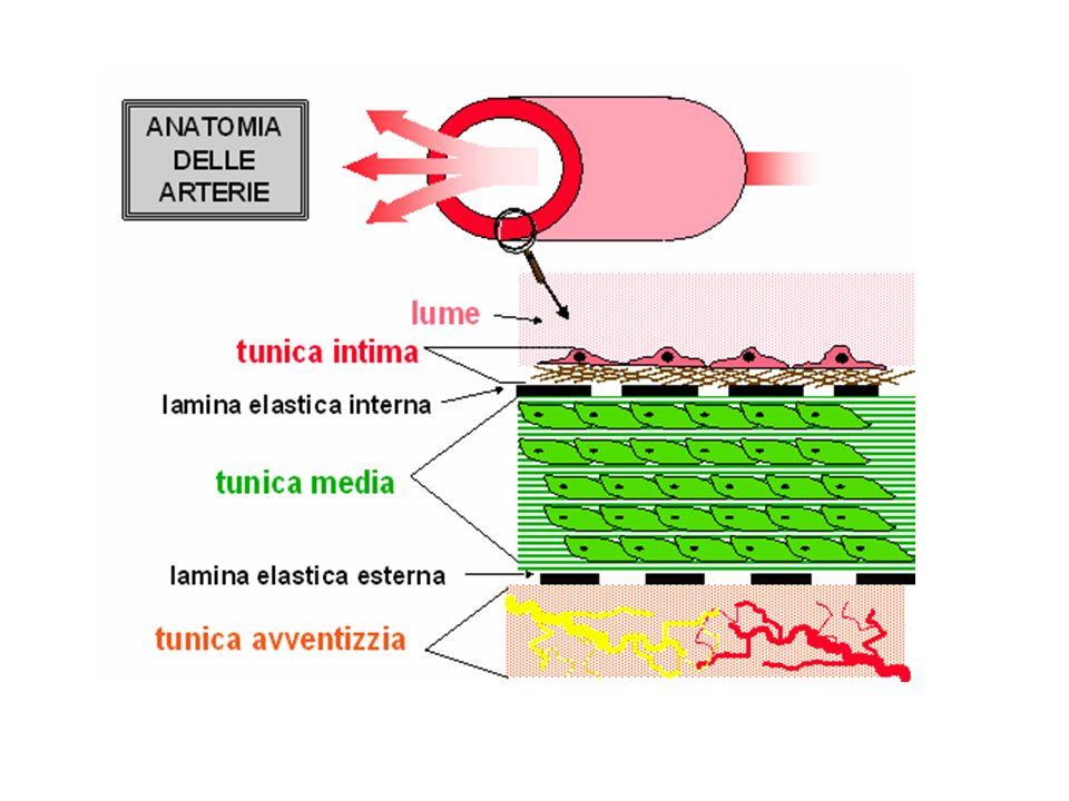 La tunica esterna è formata da tessuto connettivo ricco di fibre di collageno. Il collageno è deputato al collegamento di tessuti e organi diversi. Esso è caratterizzato da cellule disperse in una sostanza intercellulare amorfa, o matrice, da esse stesse prodotta e nella quale si trovano fibre di varia natura chimica. Vi sono diversi tipi di tessuto connettivo, che derivano tutti dal mesenchima, ovvero dallo strato intermedio che si differenzia nelle fasi precoci dello sviluppo embrionale.