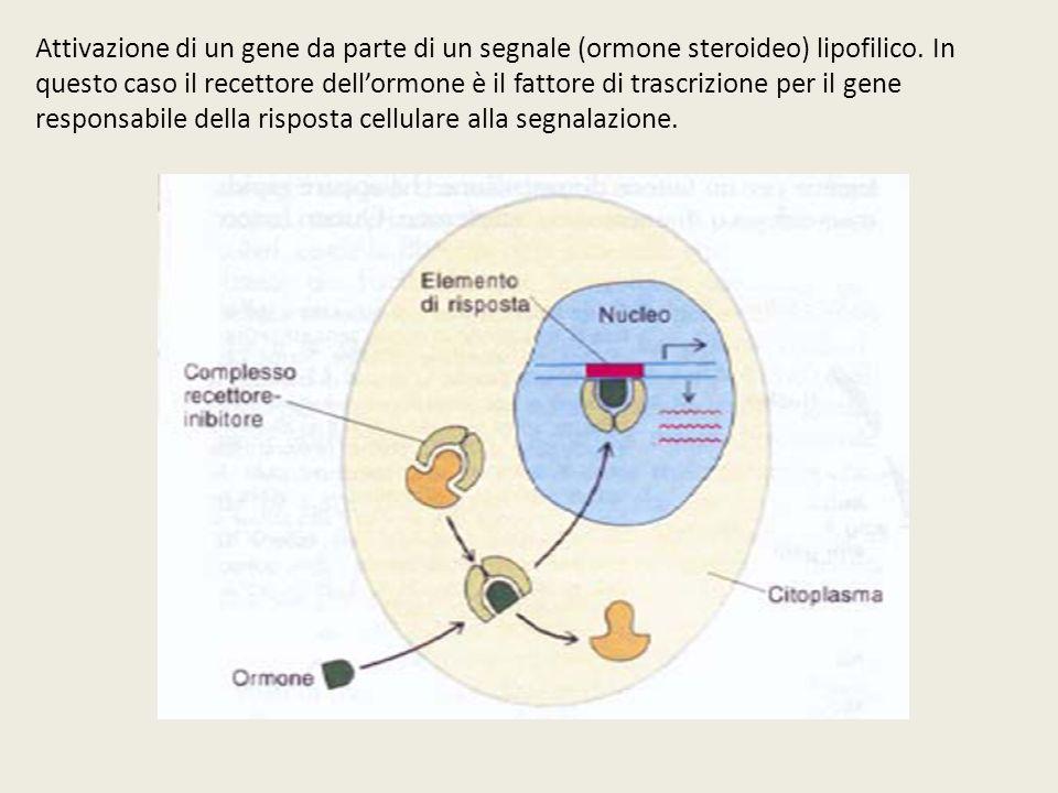 Attivazione di un gene da parte di un segnale (ormone steroideo) lipofilico.