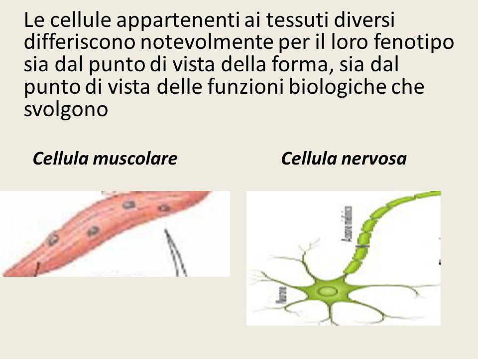 Le cellule appartenenti ai tessuti diversi differiscono notevolmente per il loro fenotipo sia dal punto di vista della forma, sia dal punto di vista delle funzioni biologiche che svolgono