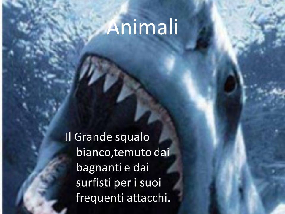 Animali Il Grande squalo bianco,temuto dai bagnanti e dai surfisti per i suoi frequenti attacchi.