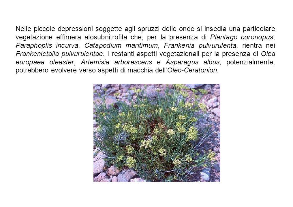 Nelle piccole depressioni soggette agli spruzzi delle onde si insedia una particolare vegetazione effimera alosubnitrofila che, per la presenza di Plantago coronopus, Paraphoplis incurva, Catapodium maritimum, Frankenia pulvurulenta, rientra nei Frankenietalia pulvurulentae.