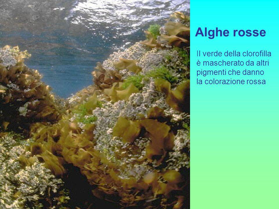 Alghe rosse Il verde della clorofilla è mascherato da altri