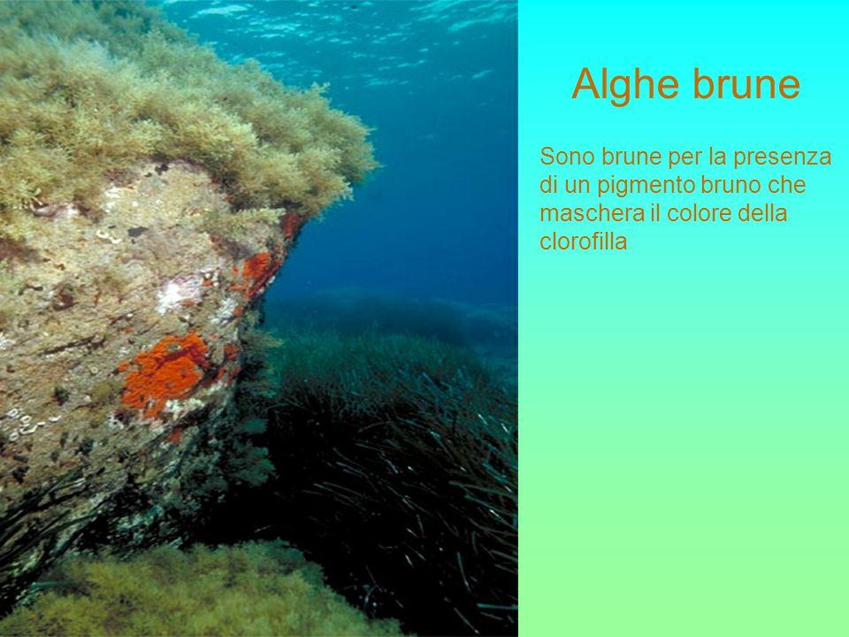 Alghe brune Sono brune per la presenza di un pigmento bruno che