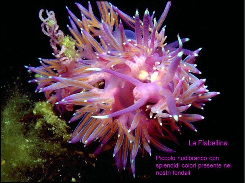 La Flabellina Piccolo nudibranco con splendidi colori presente nei nostri fondali