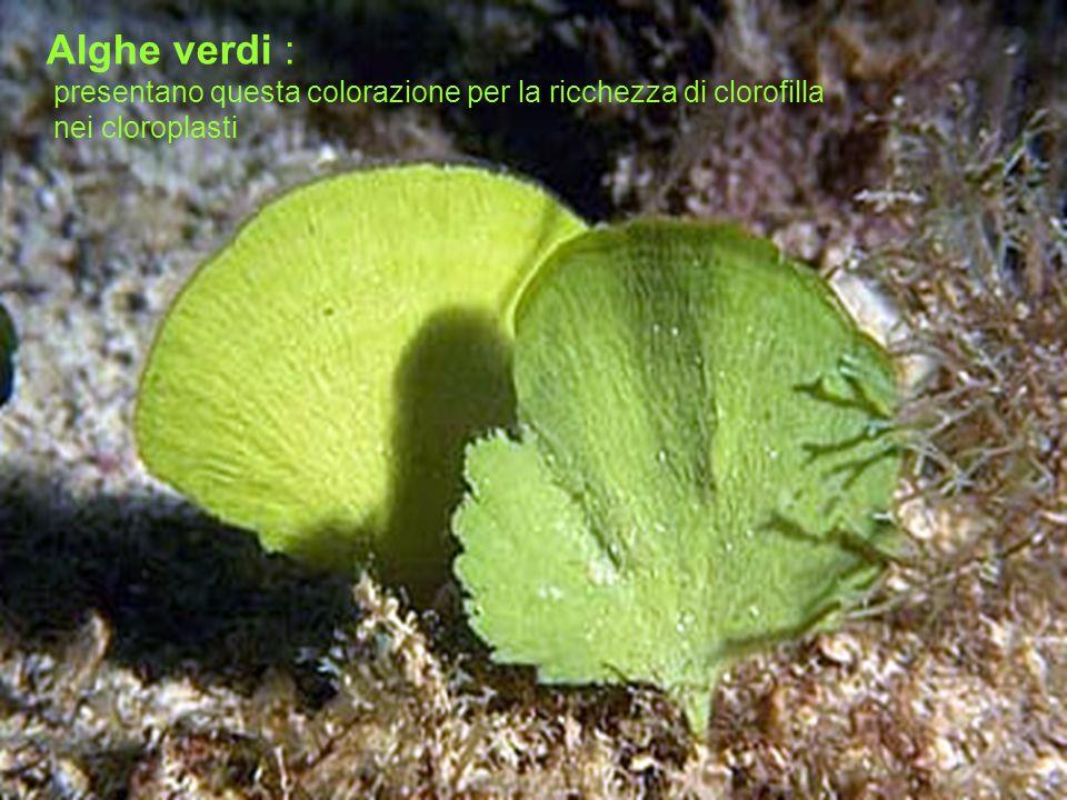 Alghe verdi : presentano questa colorazione per la ricchezza di clorofilla nei cloroplasti