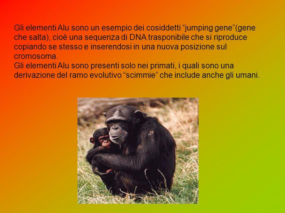 Gli elementi Alu sono un esempio dei cosiddetti jumping gene (gene che salta), cioè una sequenza di DNA trasponibile che si riproduce copiando se stesso e inserendosi in una nuova posizione sul cromosoma.