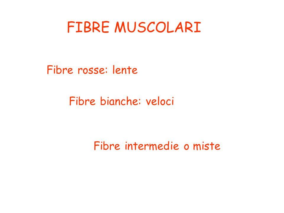 FIBRE MUSCOLARI Fibre rosse: lente Fibre bianche: veloci