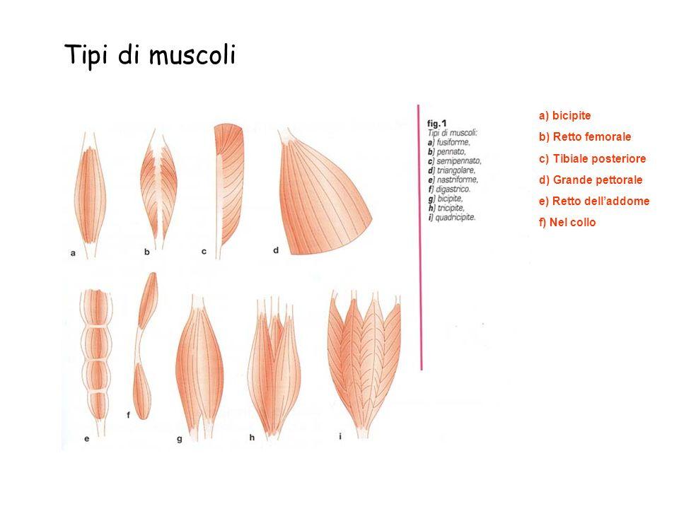 Tipi di muscoli a) bicipite b) Retto femorale c) Tibiale posteriore