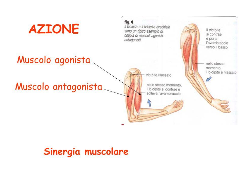 AZIONE Muscolo agonista Muscolo antagonista Sinergia muscolare