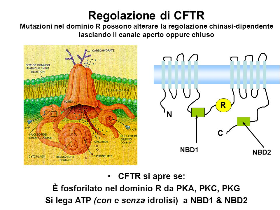 Regolazione di CFTR CFTR si apre se: