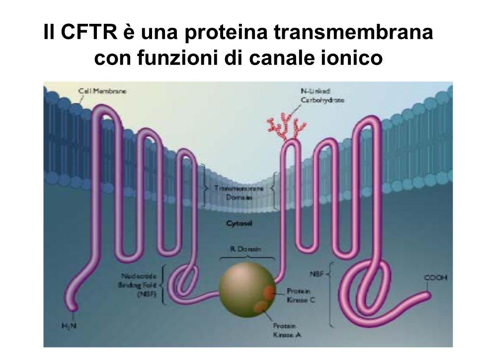 Il CFTR è una proteina transmembrana con funzioni di canale ionico