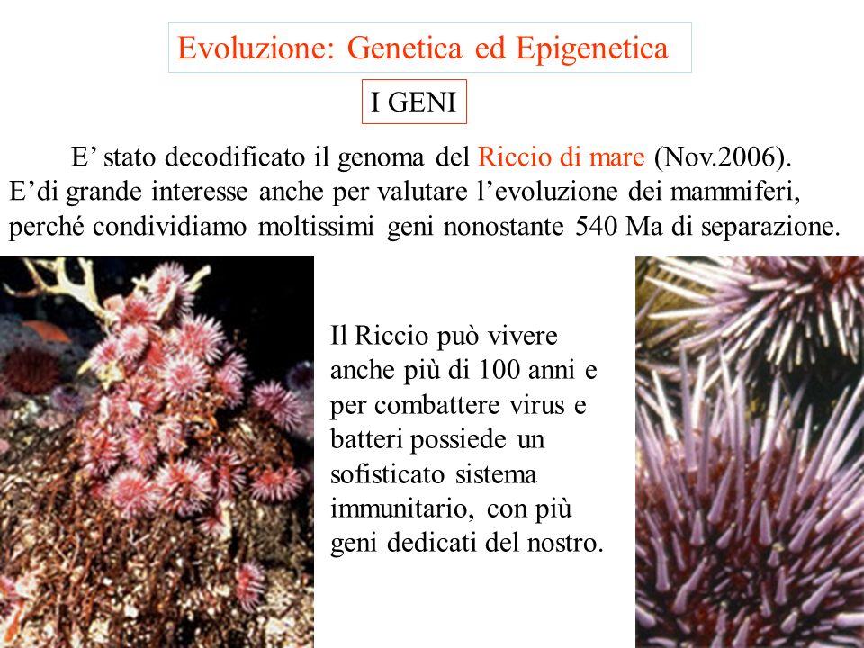 E' stato decodificato il genoma del Riccio di mare (Nov.2006).