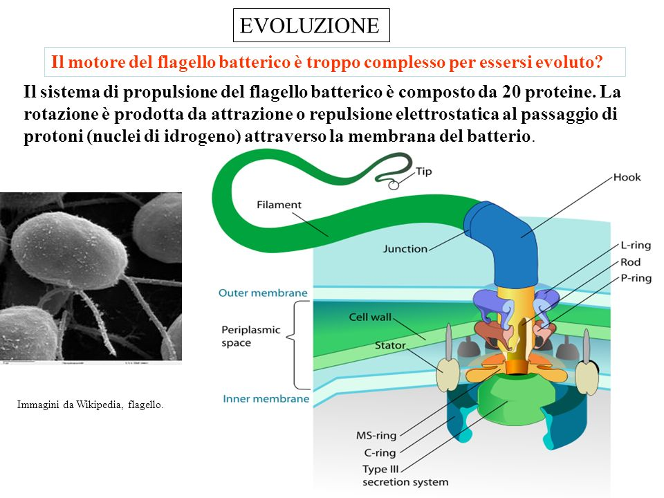 EVOLUZIONE Il motore del flagello batterico è troppo complesso per essersi evoluto
