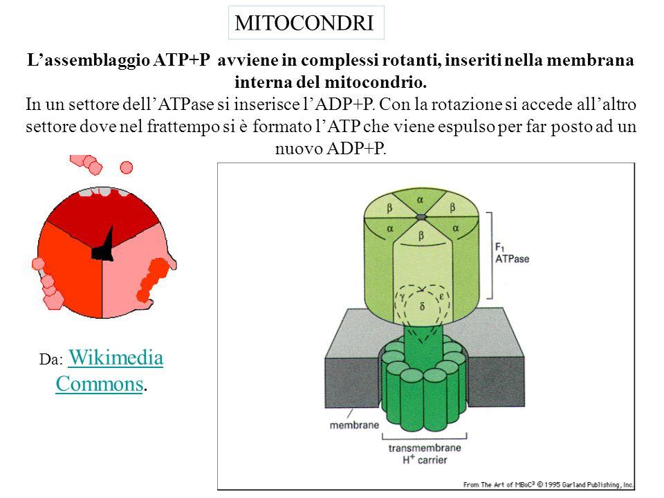 MITOCONDRI L'assemblaggio ATP+P avviene in complessi rotanti, inseriti nella membrana interna del mitocondrio.