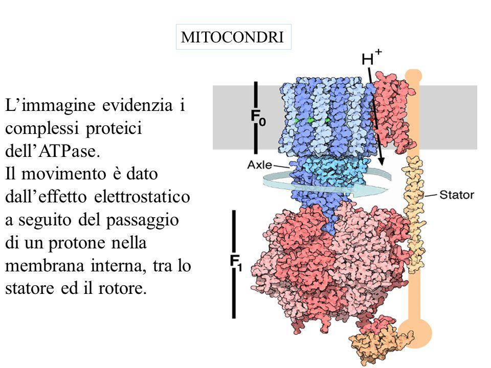 L'immagine evidenzia i complessi proteici dell'ATPase.
