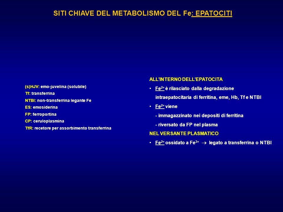 SITI CHIAVE DEL METABOLISMO DEL Fe: EPATOCITI