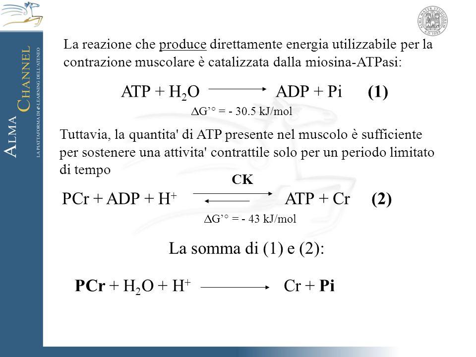 ATP + H2O ADP + Pi (1) DG'° = - 30.5 kJ/mol