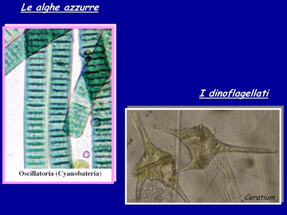 Le alghe azzurre I dinoflagellati Ceratium
