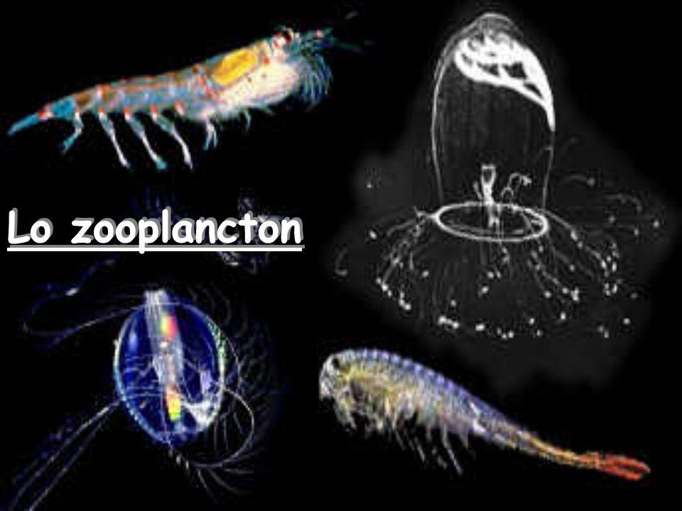 Lo zooplancton
