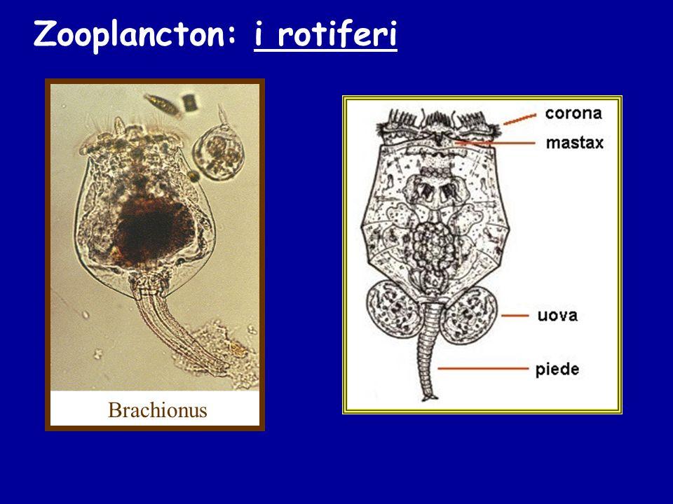 Zooplancton: i rotiferi