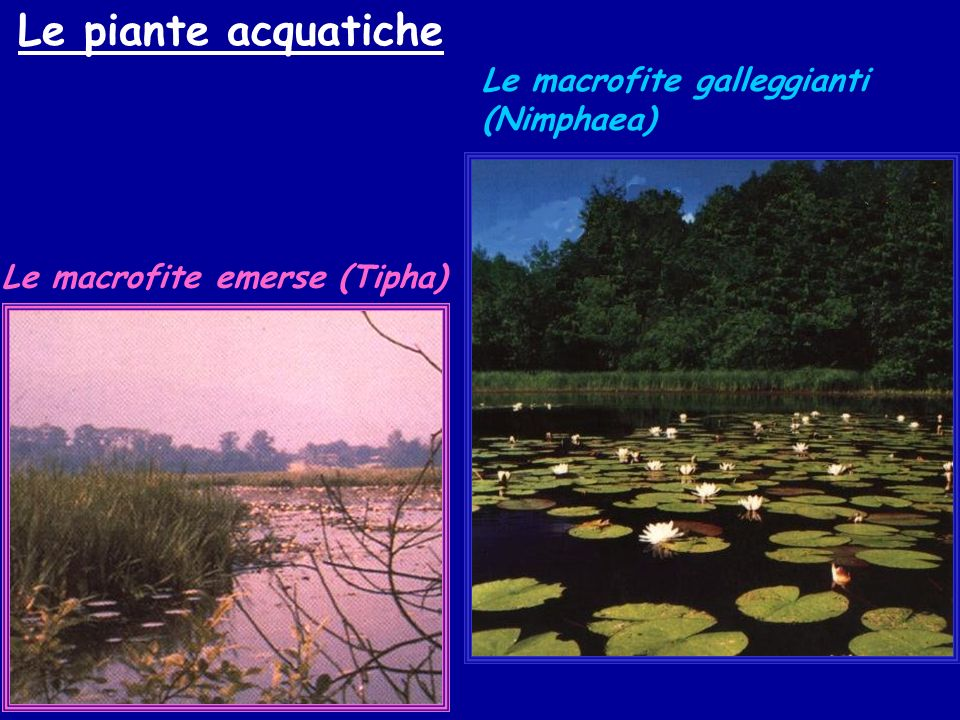 Le piante acquatiche Le macrofite galleggianti (Nimphaea)